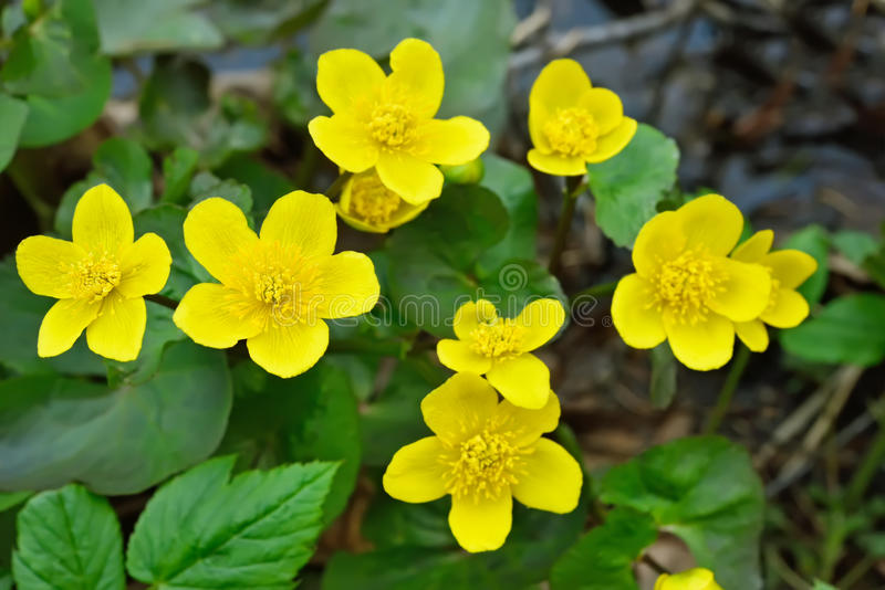 Flores de la maravilla de pantano fotos de archivo