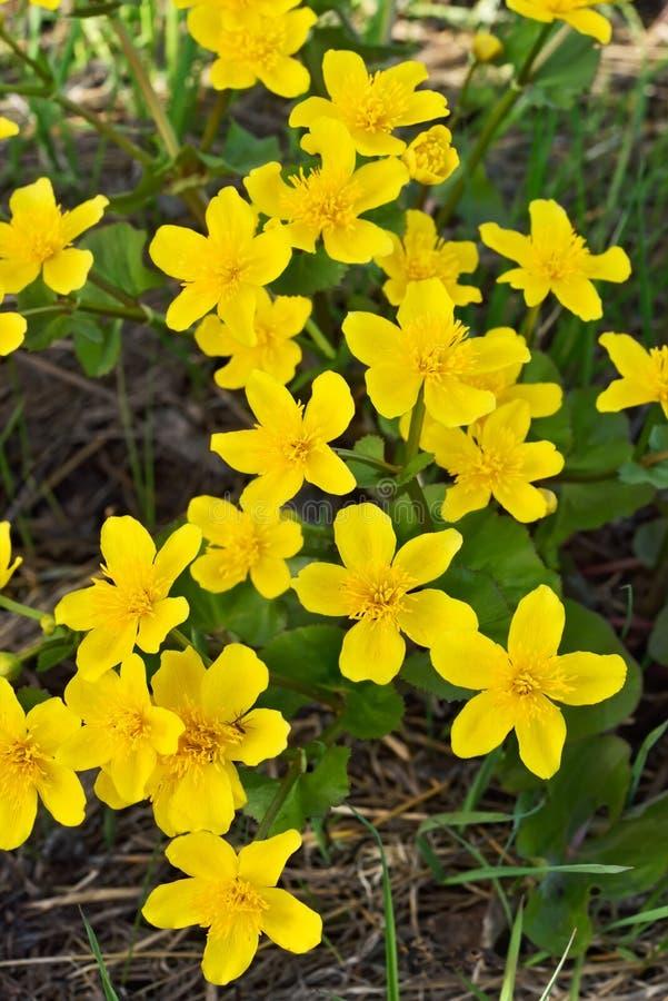Flores de la maravilla de pantano fotografía de archivo libre de regalías