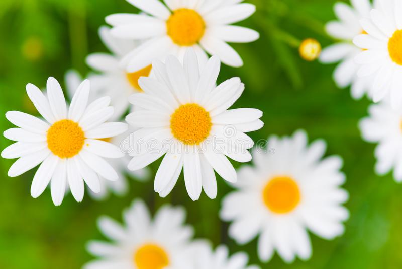 Flores de la margarita de margarita imagen de archivo