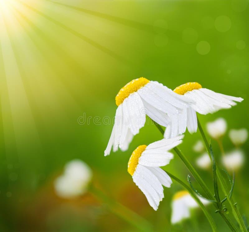 Flores de la margarita blanca en el fondo verde abstracto y la luz soleada del bokeh, tarjeta floral del flor foto de archivo