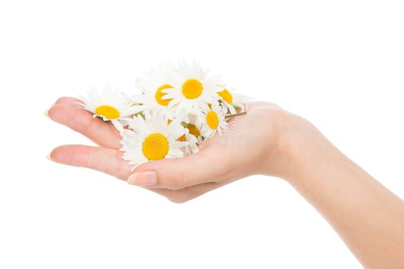 Flores de la margarita de la manzanilla de la manicura francesa de la mano de la mujer fotografía de archivo
