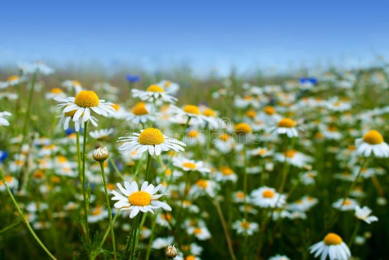 Flores de la margarita de margarita fotografía de archivo