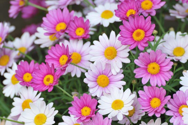 Flores de la margarita de ojo de buey foto de archivo libre de regalías