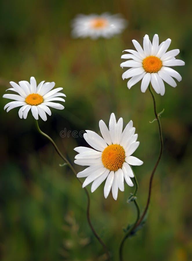 Flores de la margarita en la floración foto de archivo libre de regalías