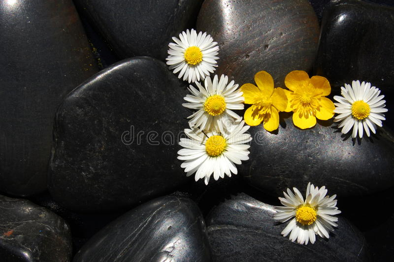 Flores de la margarita en piedras negras fotografía de archivo libre de regalías