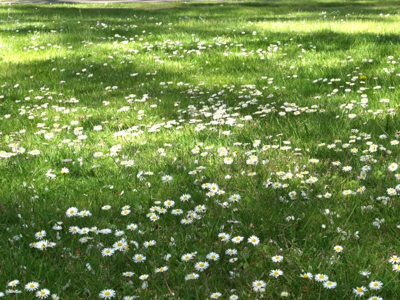 Flores de la margarita en prado verde imagen de archivo
