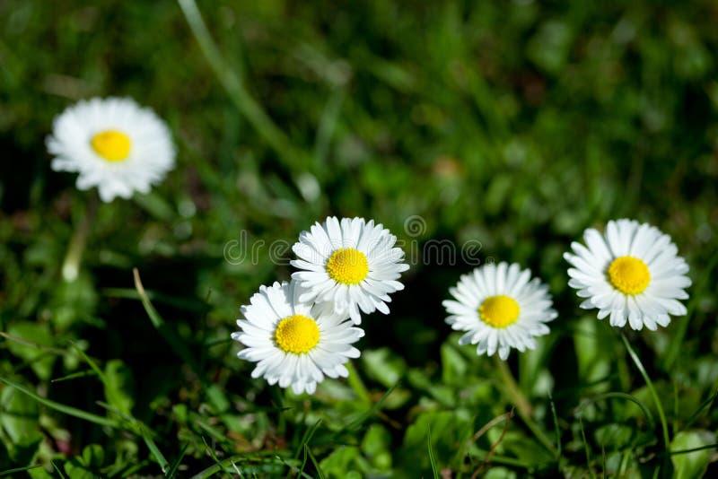 Flores de la margarita, pequeña margarita foto de archivo libre de regalías