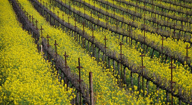 Flores de la mostaza en el vi?edo de Napa imágenes de archivo libres de regalías