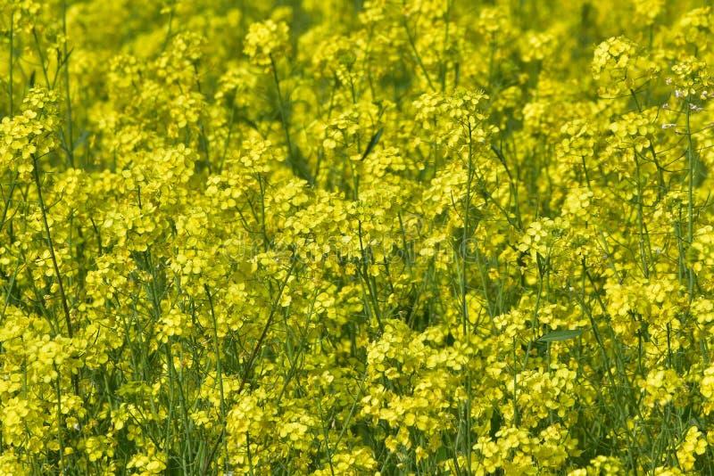 Flores de la mostaza en la plena floración imagen de archivo libre de regalías