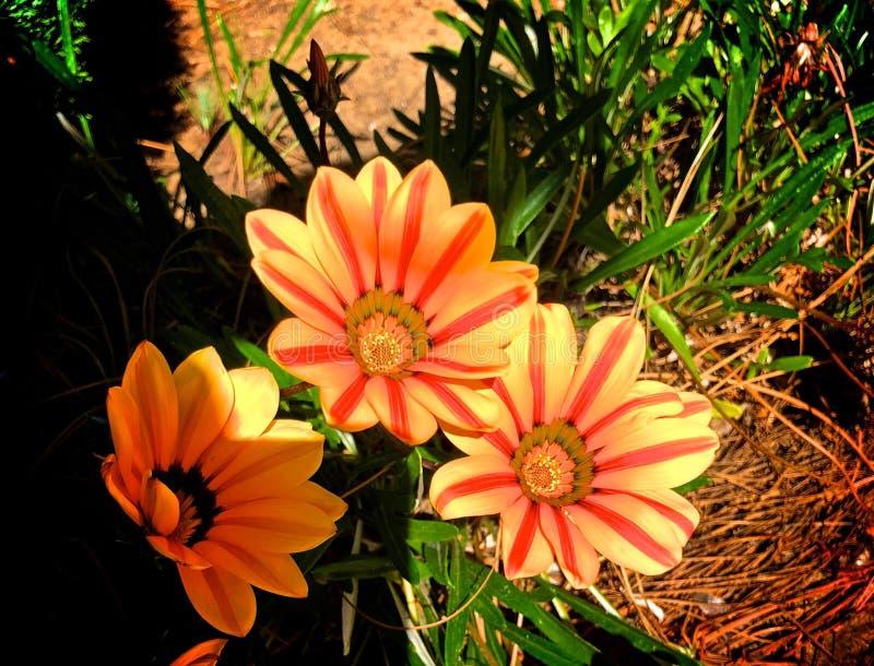 Flores de la naranja del resplandor solar foto de archivo