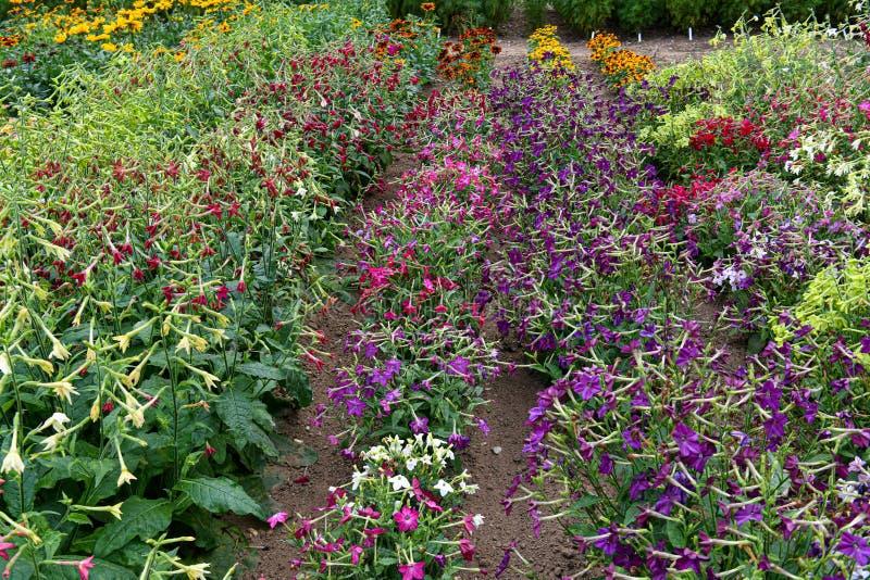 Flores de la nicociana Un jardín por completo de las flores para las abejas, las mariposas y otros insectos imagenes de archivo