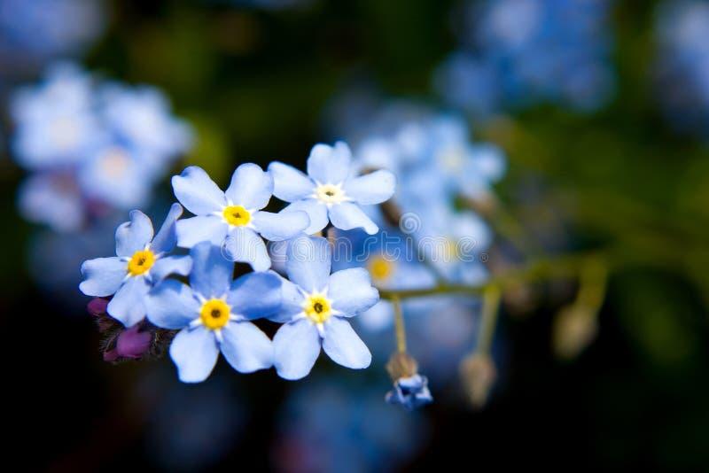 Flores de la nomeolvides imagenes de archivo