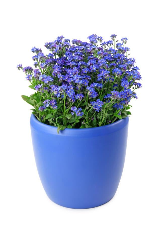 Flores de la nomeolvides en crisol fotografía de archivo
