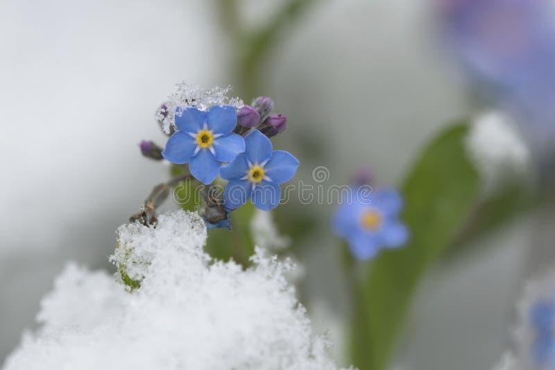 Flores de la nomeolvides en la nieve fotografía de archivo libre de regalías