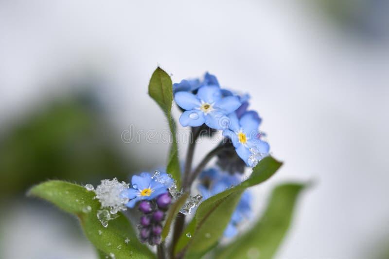 Flores de la nomeolvides en la nieve imagenes de archivo