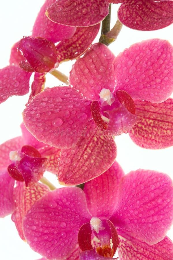 Flores de la orquídea fotos de archivo libres de regalías