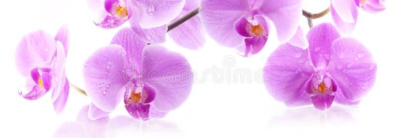 Flores de la orquídea fotografía de archivo libre de regalías