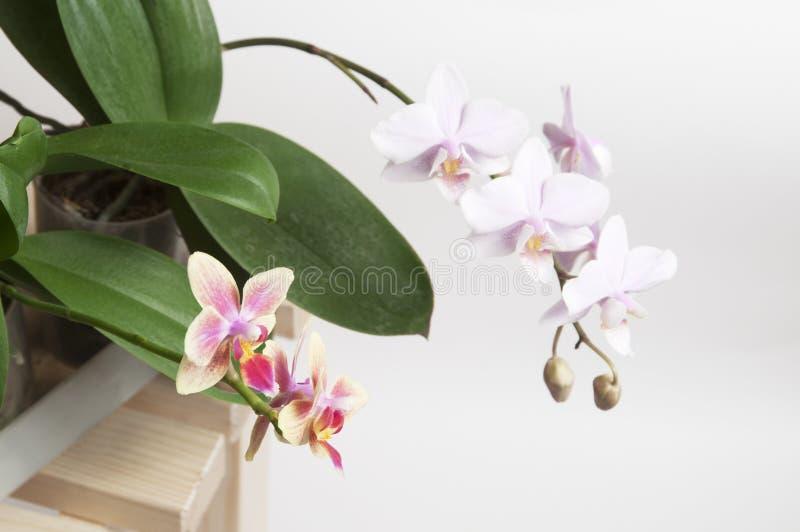 Flores De La Orquídea Foto de archivo