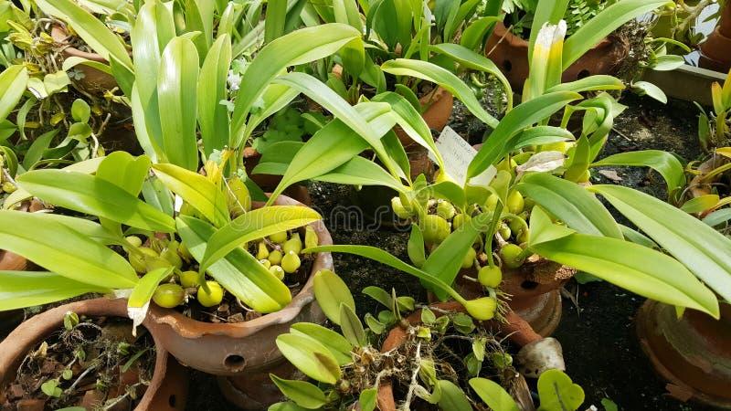 Flores de la orquídea de Bulbophyllum en el jardín botánico de Sofía fotos de archivo libres de regalías