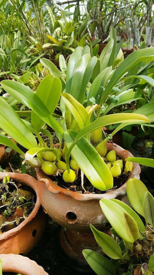 Flores de la orquídea de Bulbophyllum en el jardín botánico de Sofía imagen de archivo libre de regalías