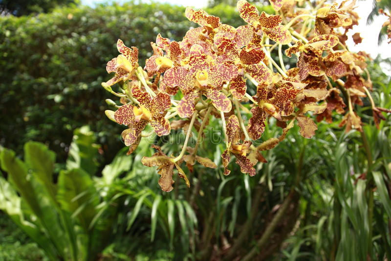 Flores de la orquídea del tigre en los jardines botánicos de Singapur imagenes de archivo