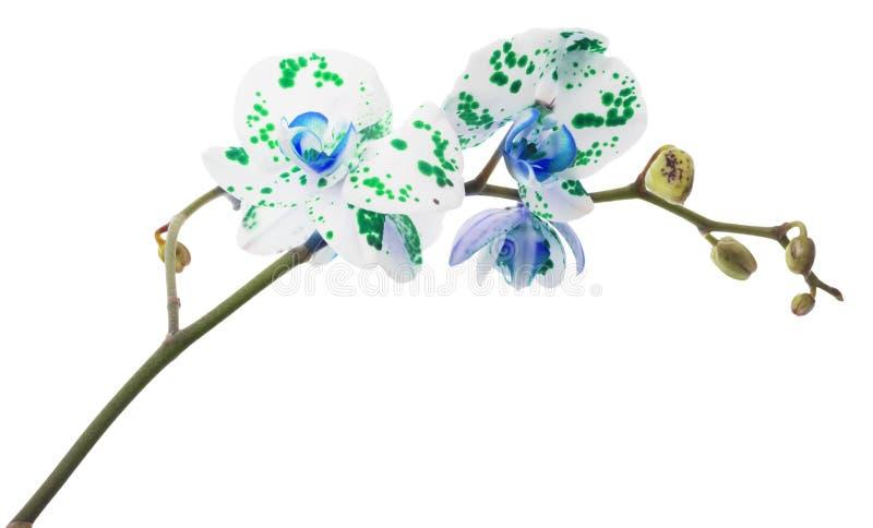 Flores de la orquídea en el fondo blanco imagen de archivo libre de regalías
