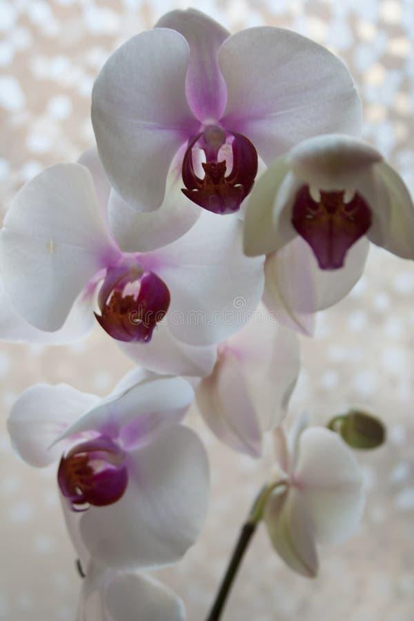 Flores de la orquídea de polilla con los pétalos púrpuras y blancos fotografía de archivo