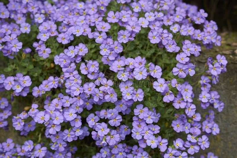 Flores de la púrpura del deltoidea de Aubrieta fotografía de archivo libre de regalías