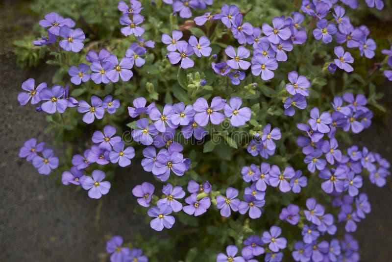 Flores de la púrpura del deltoidea de Aubrieta fotos de archivo