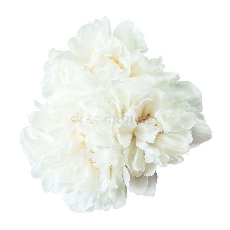 Flores de la peonía aisladas fotografía de archivo