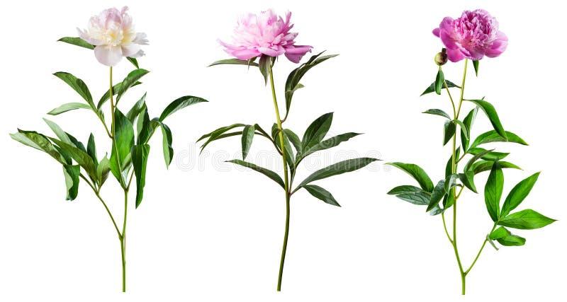 Flores de la peonía aisladas en blanco fotografía de archivo libre de regalías