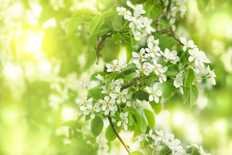 Flores de la pera imagenes de archivo