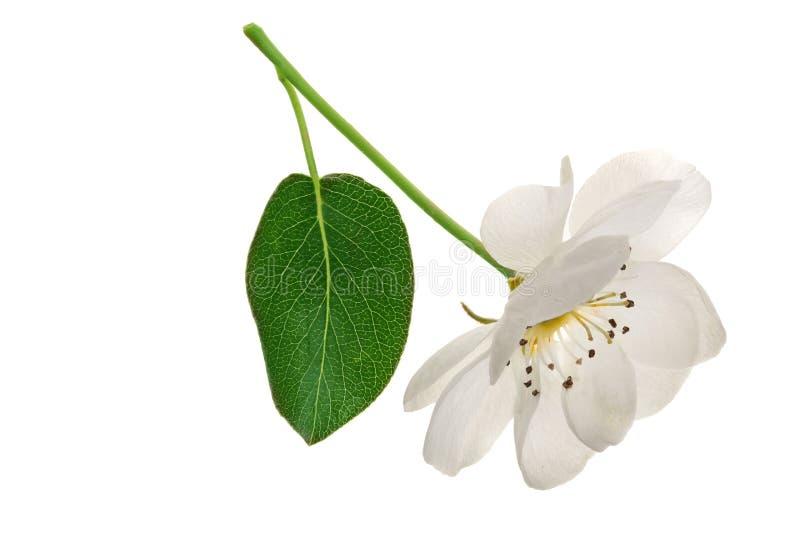 Flores de la pera aisladas en el fondo blanco Visión superior Endecha plana Sistema o colección imágenes de archivo libres de regalías