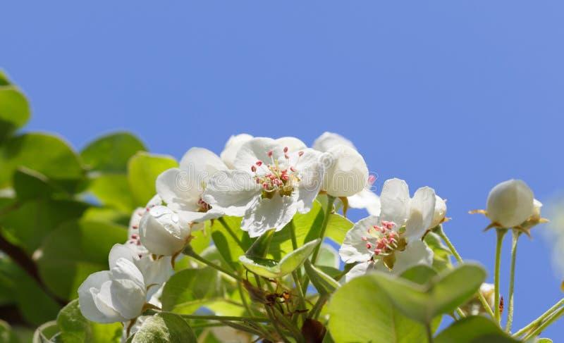 Flores de la pera fotografía de archivo