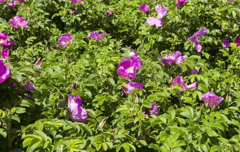 Flores de la perro-rosa fotos de archivo libres de regalías