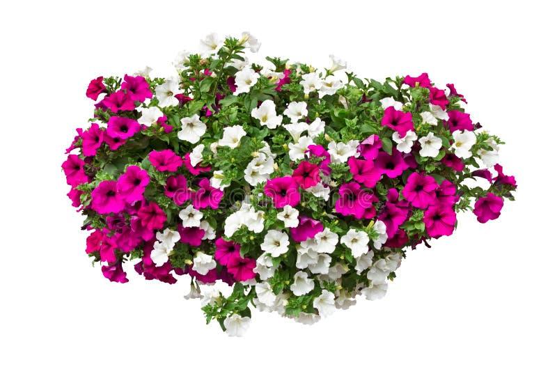 Flores de la petunia con la trayectoria de recortes foto de archivo libre de regalías