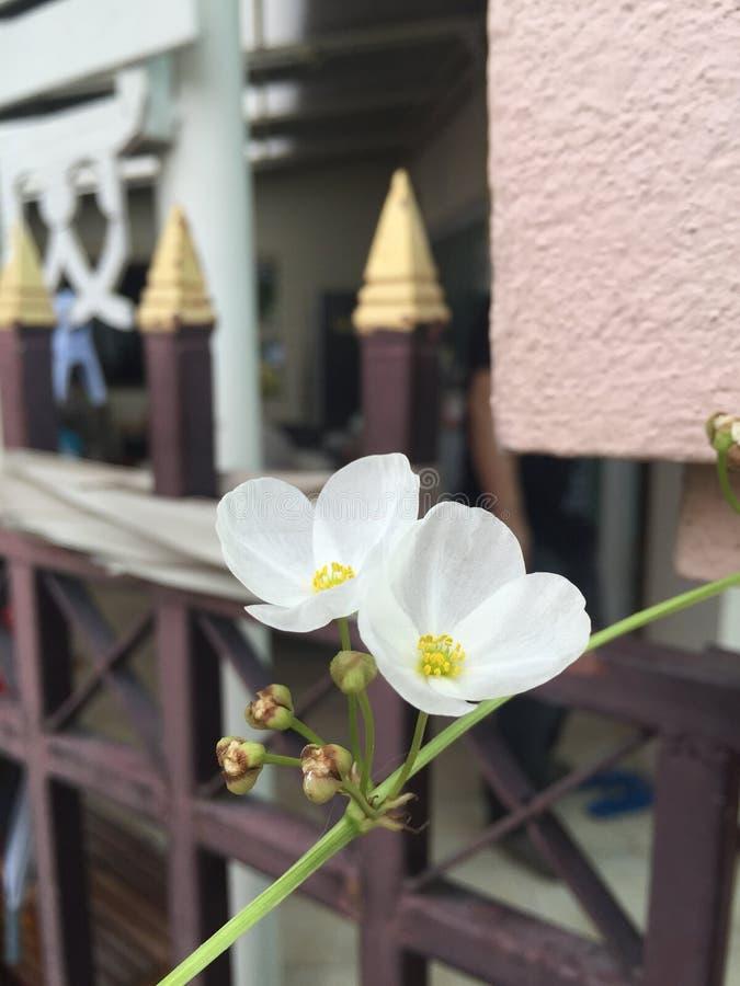 Flores de la planta de agua imagenes de archivo