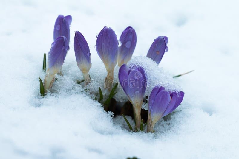 Flores de la primavera del azafrán imagenes de archivo