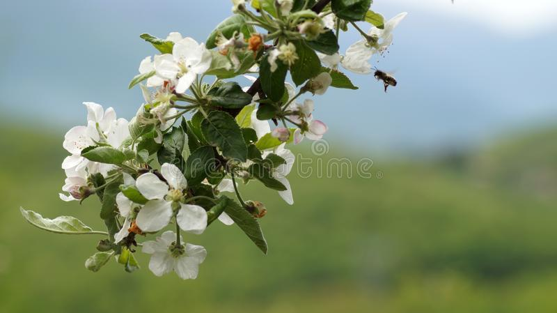 Flores de la primavera del ` besados por un ` de la abeja fotos de archivo libres de regalías