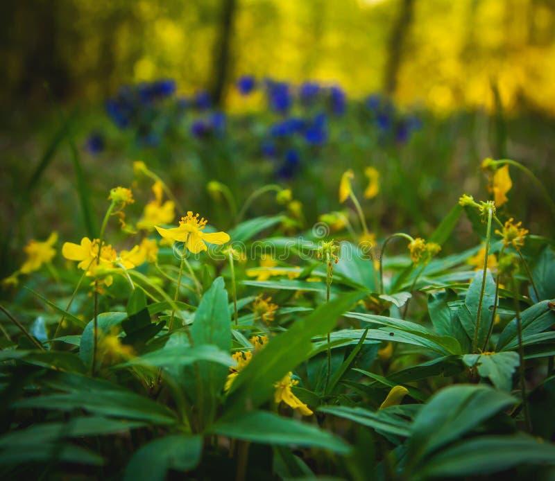 Flores de la primavera en el bosque de la primavera imagen de archivo libre de regalías