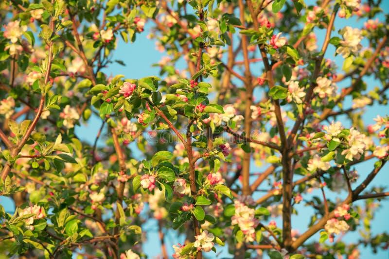 Flores de la primavera de la manzana imagen de archivo