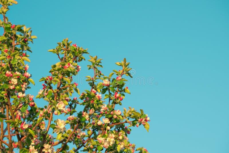 Flores de la primavera de la manzana fotografía de archivo