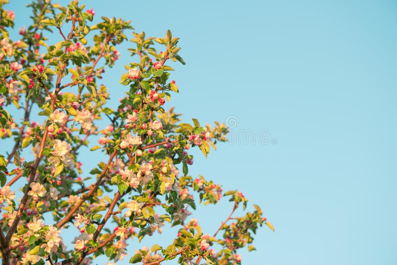 Flores de la primavera de la manzana fotos de archivo