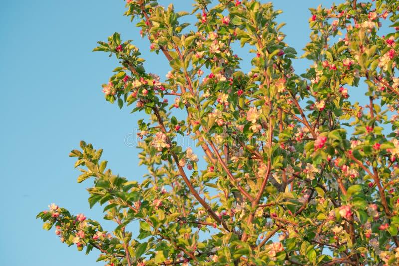 Flores de la primavera de la manzana imágenes de archivo libres de regalías