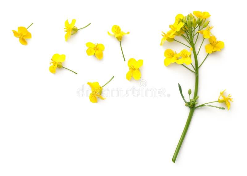 Flores de la rabina aisladas en el fondo blanco fotografía de archivo