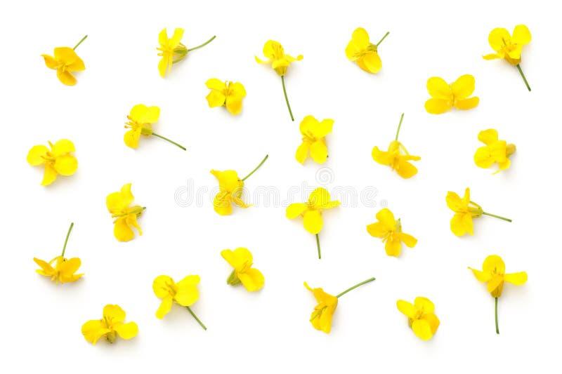 Flores de la rabina aisladas en el fondo blanco imágenes de archivo libres de regalías