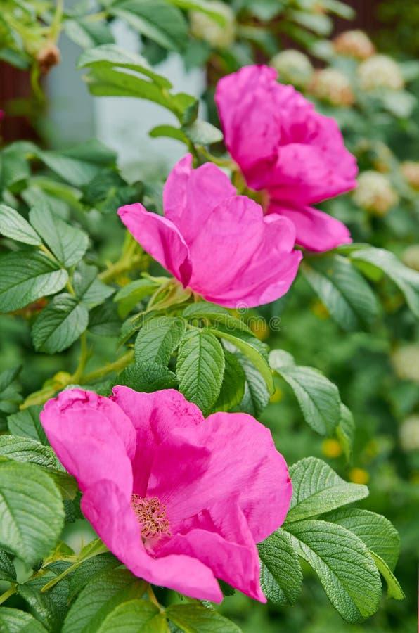 Flores de la rosa del rosa en el jardín Fondo floreciente del verano fotos de archivo