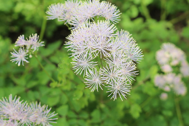 Flores de la ruda de prado de la aguileña - Thalictrum Aquilegifolium fotografía de archivo libre de regalías