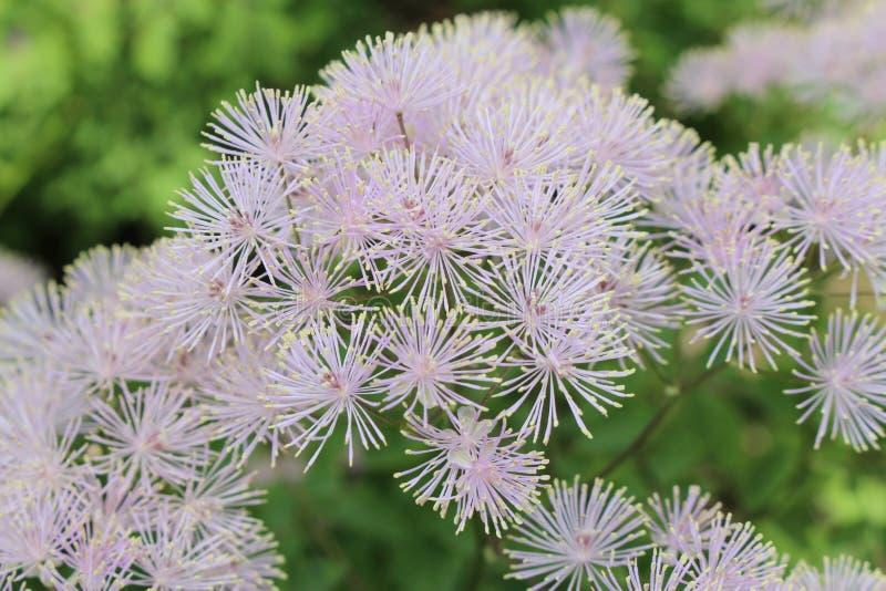 Flores de la ruda de prado de la aguileña - Thalictrum Aquilegifolium fotos de archivo