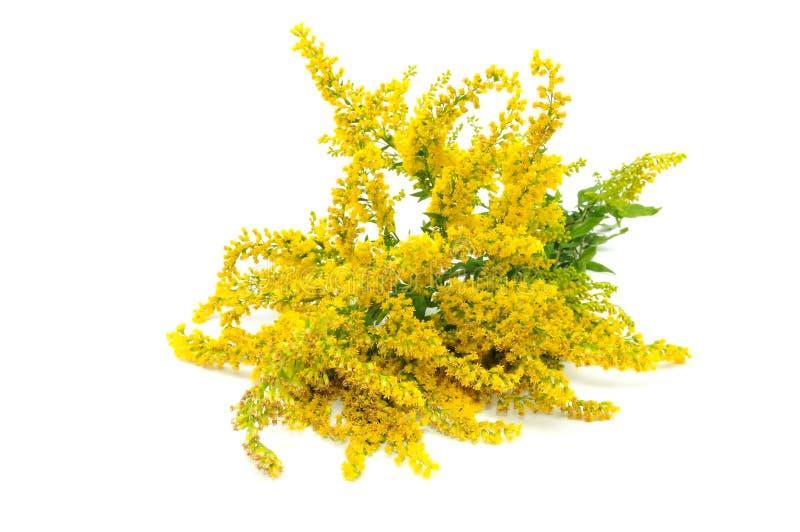 Flores de la vara de oro de Canadá imagenes de archivo